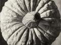 Grande Zucca - 2010 disegno a carbone su tavola cm 60x60 © Gianluca Corona