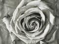 Rosa II - carbone su tavola cm 40x40 © Gianluca Corona